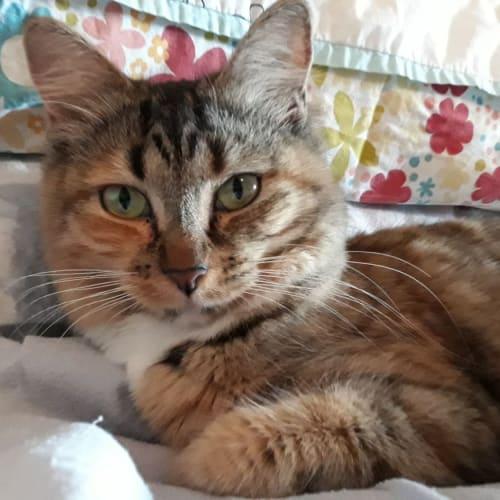 Selena - Domestic Long Hair Cat