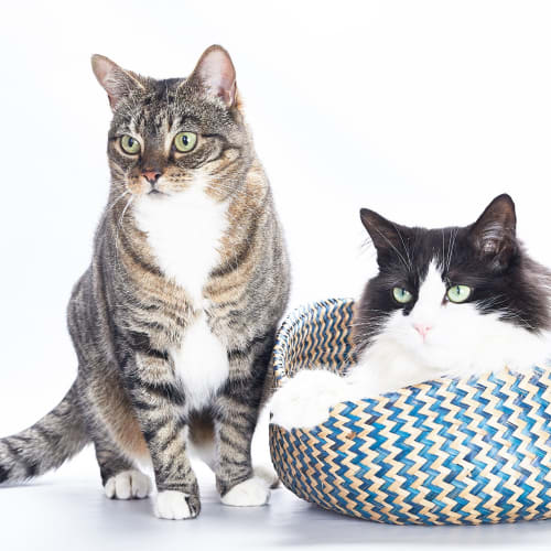 Fifi and Mishka - Domestic Medium Hair Cat