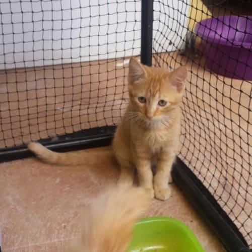 Ninja - Domestic Short Hair Cat