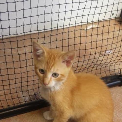 Tin Tin - Domestic Short Hair Cat