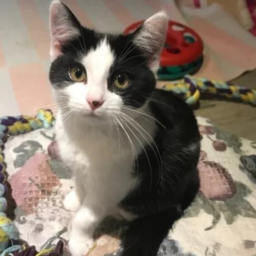 Kaila (located in Cheltenham) - Domestic Short Hair Cat