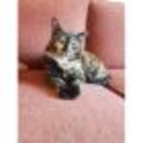 Fluer - Domestic Short Hair Cat