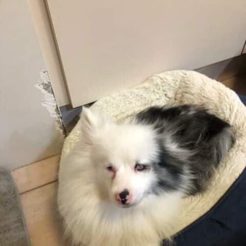 Zara with Carol  - Pomeranian Dog