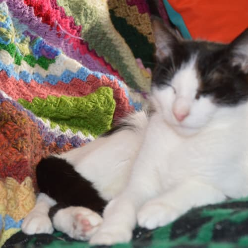Cleo - Meet me at Cat Lounge/Neko HQ Preston - Domestic Short Hair Cat