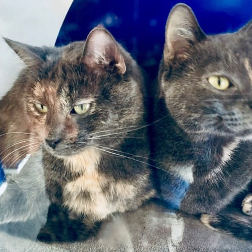 Shadow and Tempest - Domestic Short Hair Cat