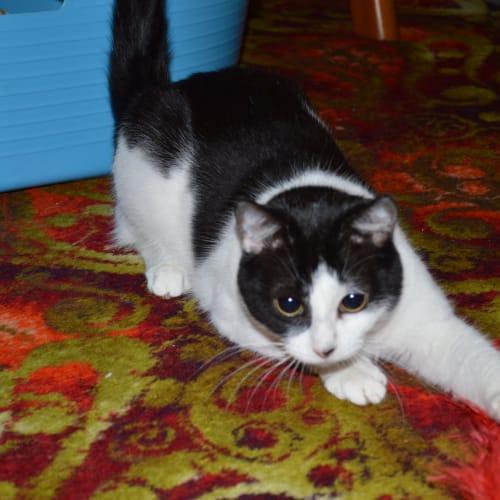 Mija - Located in Greensborough - Domestic Short Hair Cat