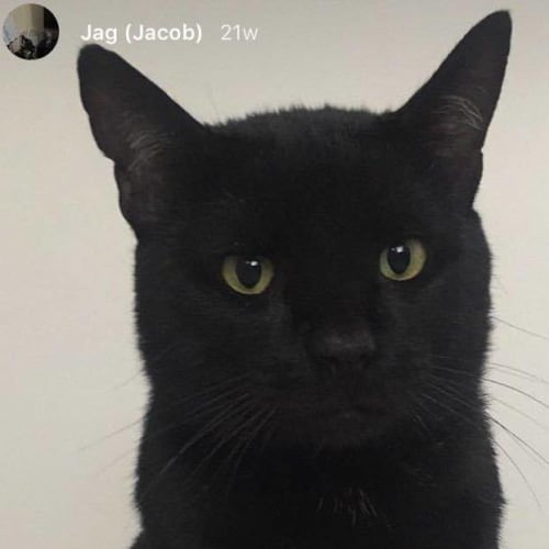 Jacob (Located in Elwood) - Domestic Short Hair Cat