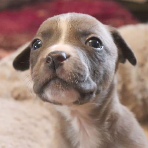 Lucas - Australian Bulldog x Kelpie Dog