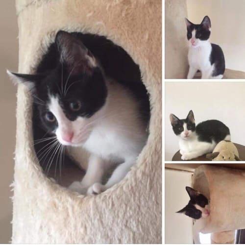 Norbert - Domestic Short Hair Cat