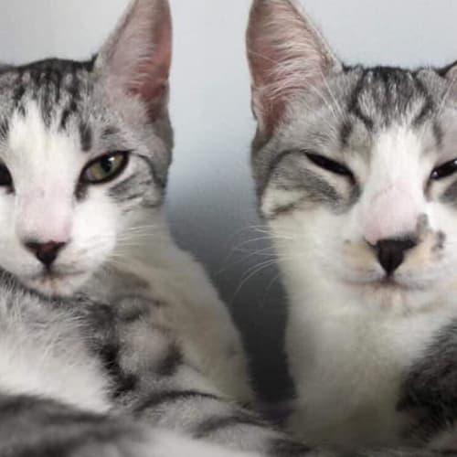 Dobby - Australian Tiffanie Cat