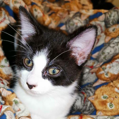 Squeak - Domestic Short Hair Cat