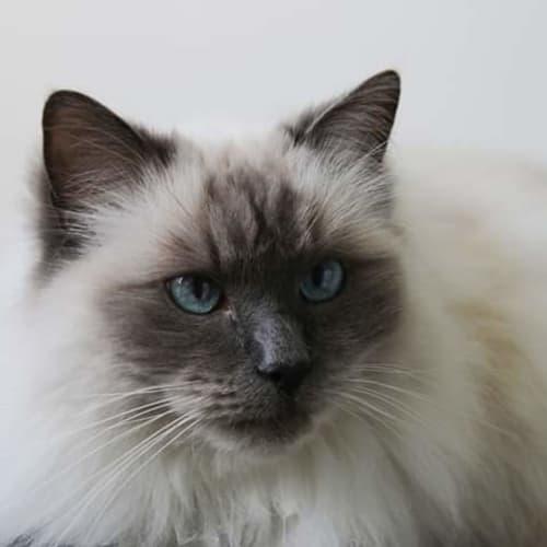Teddy  - Ragdoll Cat