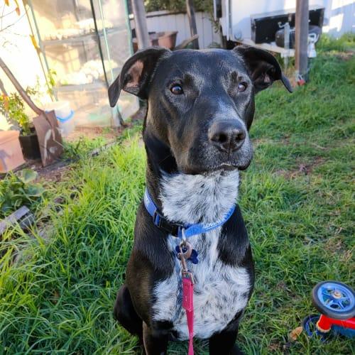 Bob - Cattle Dog x Labrador Dog