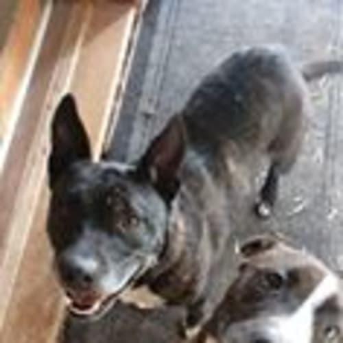 Sammie DL2191 & Bruiser DL2192 - Staffy Dog