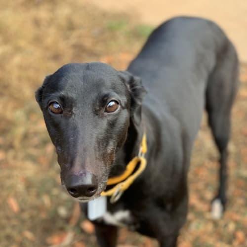 Valerie (In Foster) - Greyhound Dog