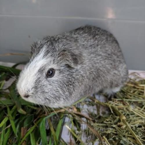 Julie  921154 - Smooth Hair Guinea Pig