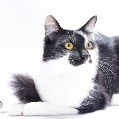 Tux - Domestic Medium Hair Cat