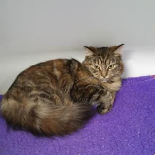 Imogen  918290 - Domestic Medium Hair Cat