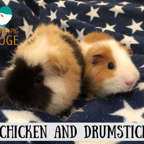 Chicken and Drumstick - Rex Guinea Pig