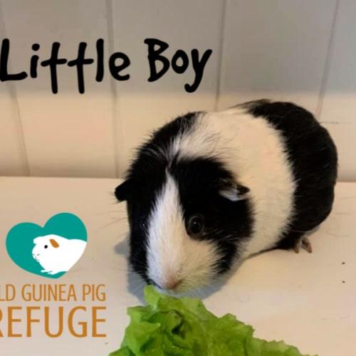 Little Boy (desexed male) - Smooth Hair Guinea Pig