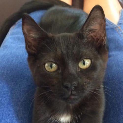 Xyla - Domestic Short Hair Cat