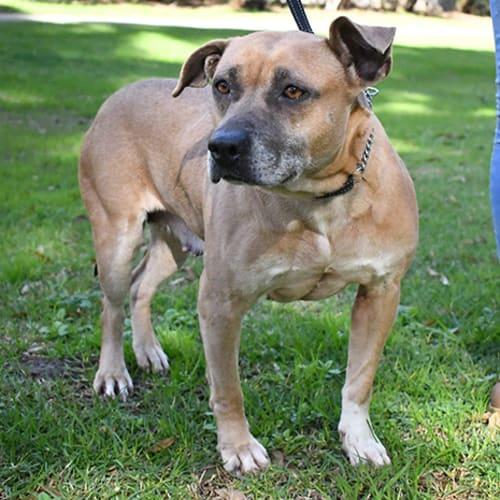 Lacey 32097 Campbelltown ACF - Amstaff Dog