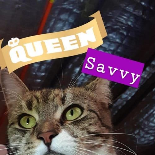 Savvy (Savannah) - Domestic Short Hair Cat