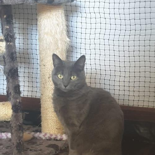 982 - Possum - Domestic Short Hair Cat