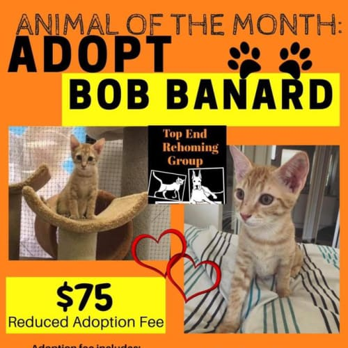 Bob Banard  - Domestic Short Hair Cat