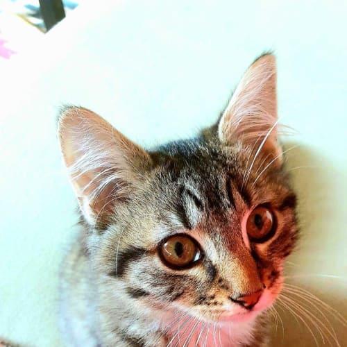 Kip - Domestic Medium Hair Cat