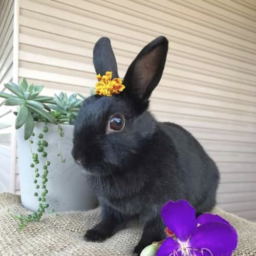 Maly 🐰 - Netherland Dwarf Rabbit