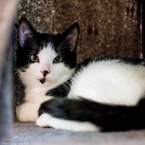 Bubblegum - Domestic Short Hair Cat