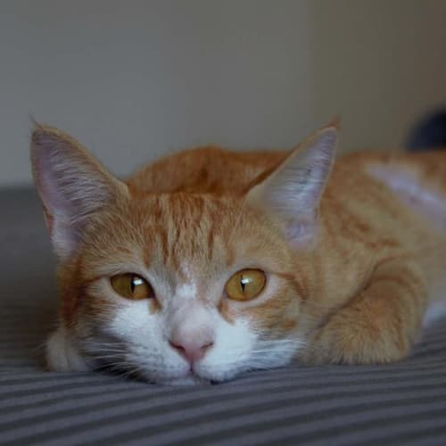 Marlow - Domestic Short Hair Cat