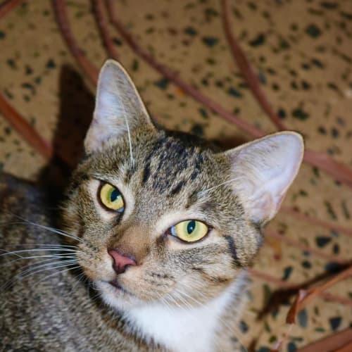 Seamus - Domestic Short Hair Cat