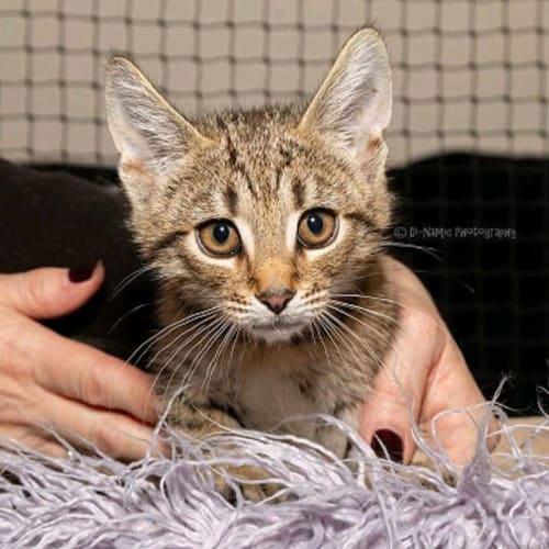1147 - Basil - Domestic Short Hair Cat