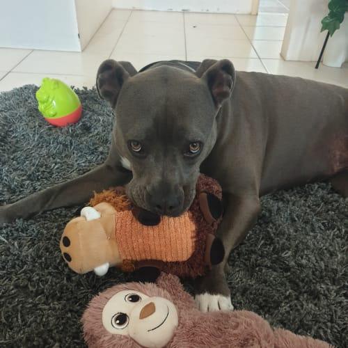 Meesha - American Staffordshire Terrier Dog
