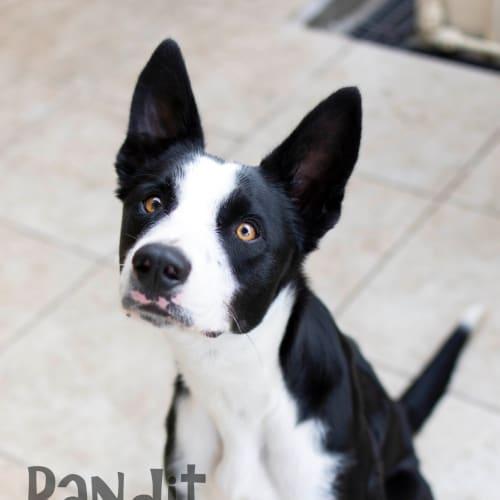 Bandit - Border Collie Dog
