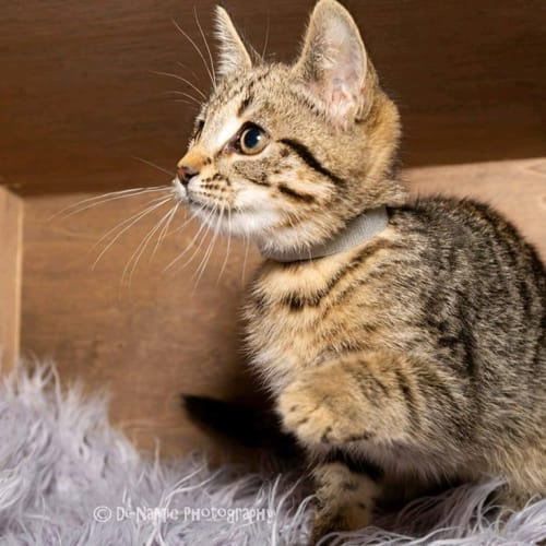 1148 - Buddy - Domestic Short Hair Cat