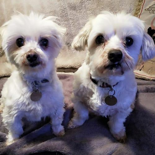 Mississippi & Montrose - Maltese Dog