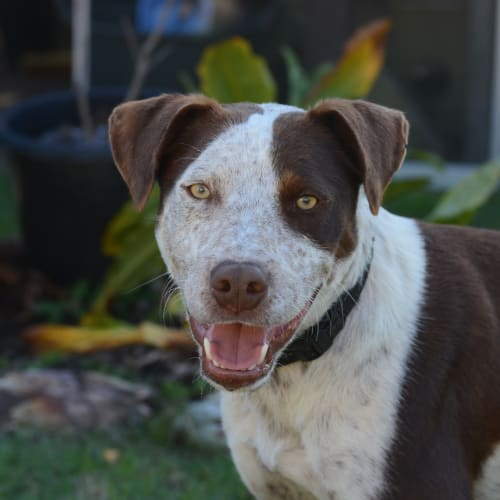 Billie - Australian Cattle Dog