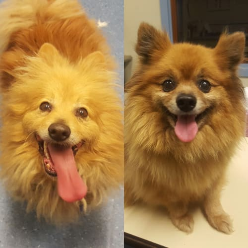 Humphrey and Millie - Pomeranian Dog