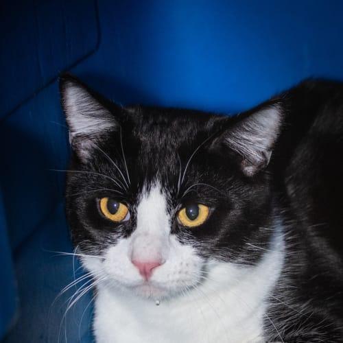 Ralphy - Domestic Short Hair Cat