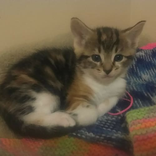 Harmony - Cute Kitty - Domestic Short Hair Cat