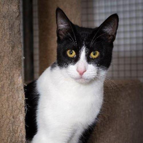 Bryson - Domestic Short Hair Cat