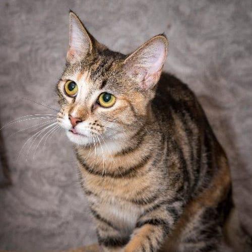Brandee - Domestic Short Hair Cat