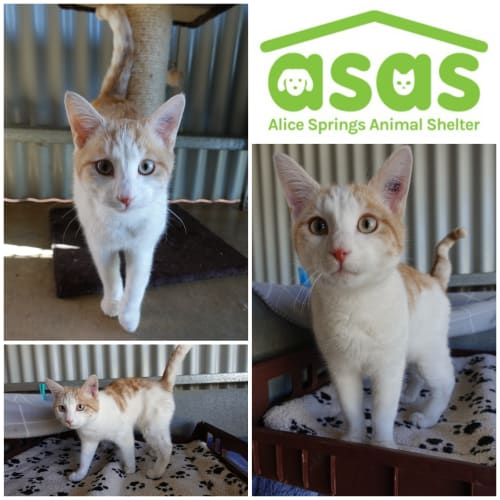 Ginger  CT19-243 - Domestic Short Hair Cat