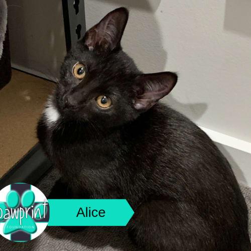 Alice - Domestic Medium Hair Cat