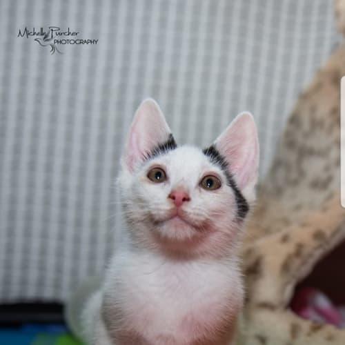 1069 - Truffle - Domestic Short Hair Cat