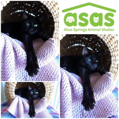 Spice  CT19-250 - Domestic Short Hair Cat