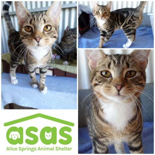 Hoss  CT19-252 - Domestic Short Hair Cat